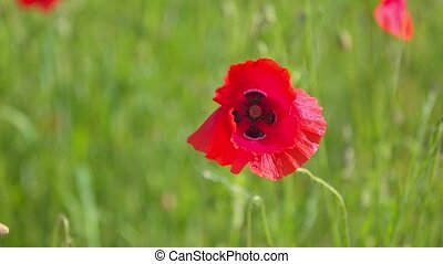 Bumble Bee and Wild Red Poppy Flower in the Meadow Field,...