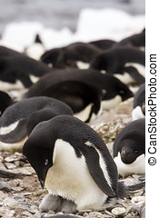 Adelie penguin and hatchlings - Adelie penguin with hatching...