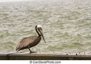 Brown Pelican on seawall - Brown pelican sitting on seawall...