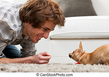 Adorable brown chihuahua having a tug of war - Adorable...