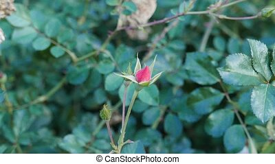 Autumn rose haw