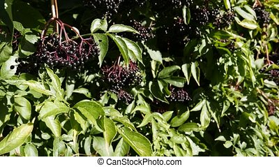 Sambucus nigra Elder, Elderberry, Black Elder, European Elder, European Elderberry, European Black Elderberry, Common Elder, Elder Bush