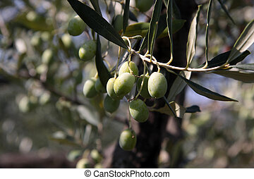 Green olives on the tree in an olive grove in Tuscany