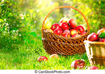 Organic apples in a basket outdoor. Apple orchard. Harvest...