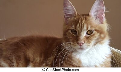 Maine Coon kitten - Cute red Maine Coon kitten at home, 3,5...