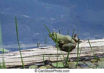 Ochsenfrosch, (American),