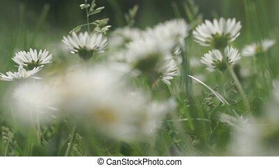 Daisy flowers in a field - clip