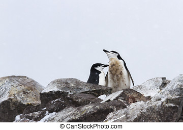 Chinstrap penguin mating pair - Mating pair of chinstrap...