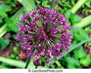 Mclean Agapanthus flower 2016 - Agapanthus flower in Mclean...