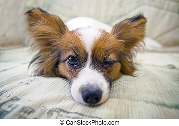 Dog of breed papillon lying on couch