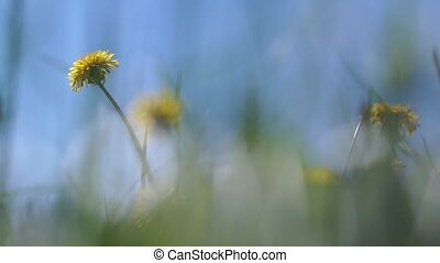 Beautiful dandelions in a field on blue sky background