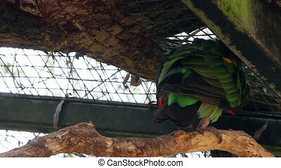 Brown Necked Parrot - Brown-Necked Parrot (Poicephalus...
