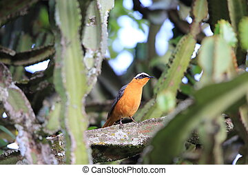 White-browed robin-chat Cossypha heuglini in Rwanda