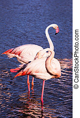 Graceful pink flamingos - Summer evening in the Camargue...