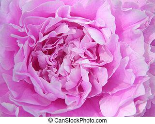 flowers. Peonies - Beautiful flowers. Peonies