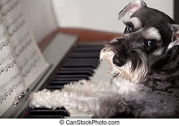 Miniature Schnauzer - Do you really never seen a dog play...