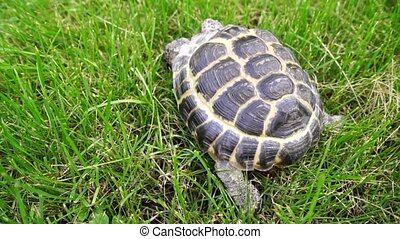 Tortoise crawling in green grass
