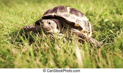 Turtle crawling in green grass
