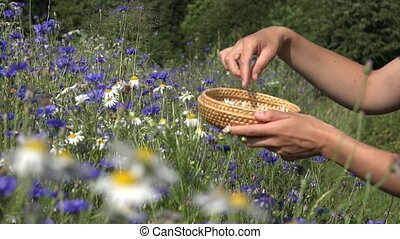 herbalist hands pick daisy flowers between cornflower in...