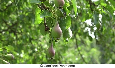 pear tree branches full of fruits grow in organic farm....