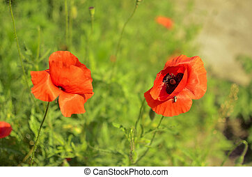 red poppies in nature floral decor on green background