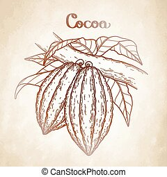 Graphic cocoa fruits on the branch isolated aged paper. Hand...