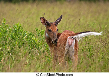 Grooming White Tail Deer In Grassy Field