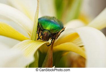 Green beetle in iris