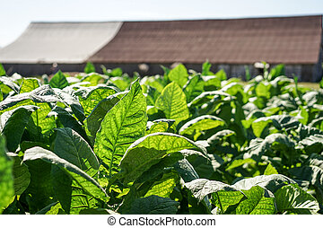 Tobacco leaves harvest - Tobacco leaves field, with big...