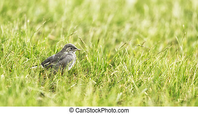 White wagtail Chick in grass