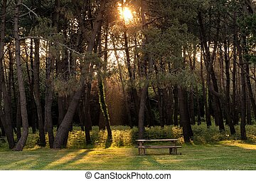 Sunbeam in pine tree forest