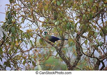 Ruwenzori turaco (Ruwenzorornis johnstoni) in Nyungwe...