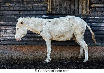 White donkey - A lonely white donkey with blue eyes
