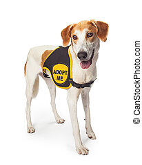 Rescue Dog Wearing Adopt Me Vest - Large rescue dog wearing...