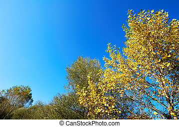 Yellow poplar tree - Autumnal yellow poplar tree tops...