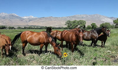 Grazing Foals and Mares in a Prarie