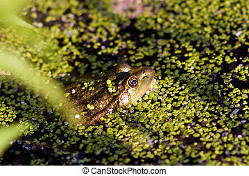 frog - gross frog on nature in green marsh, closeup,...