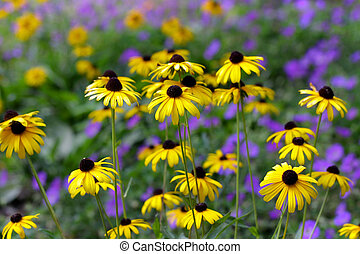 Black eyed Susans - Close up shot of many black eyed Susans...