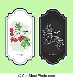 Vector illustration hawthorn. Medicinal berry.For...