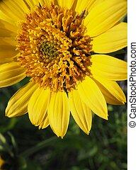 Desert flower - yellow desert flower.
