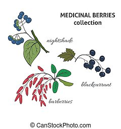 Medicinal berry collection. Blackcurrant, nightshade, barberries. Health and nature set.