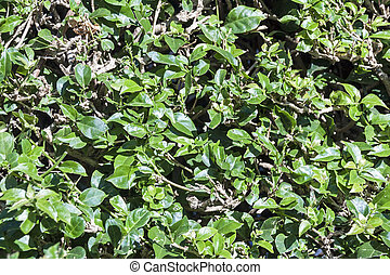 Background of Trimmed Hedge Green Leaves - Natural...
