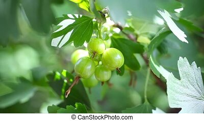 ripening fruits of black currant berries - some green...