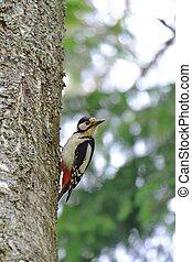 pájaro carpintero, árbol