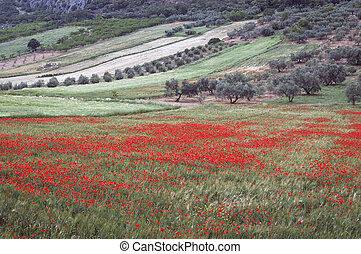 Field of Poppies, Papaver rhoeas - Field of Poppies Papaver...