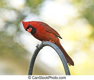 Inquisitive Cardinal - a male red cardinal perched, looking...
