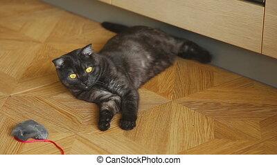 Gray scottish fold cat - Young scottish fold cat lying tired...