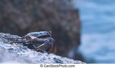 Crab on the rock at the beach, rolling waves, close-up
