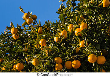 ripe clementines on tree - closeup of ripe clementines on...