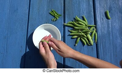 hands pod shell husk green peas in white dish on blue wooden...